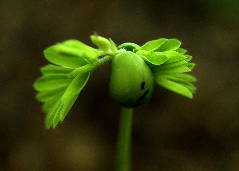 tamarindus indica fresh  or  seeds ★ tamarind tree sweet, Beautiful flower