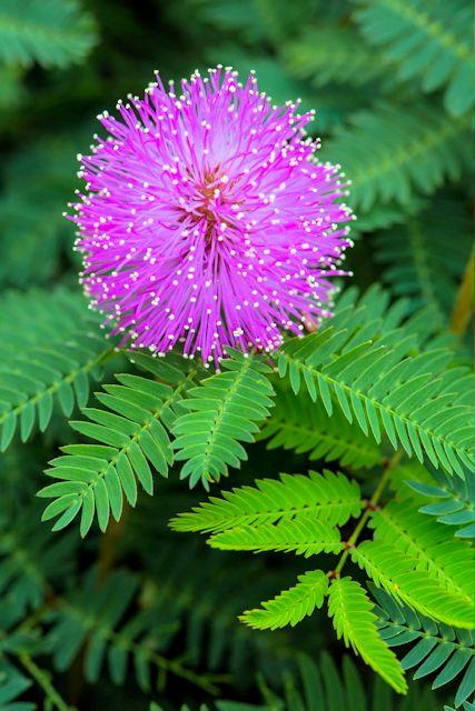 mimosa pudica sensitive 05 seeds magic touch moving plant free shipping ebay. Black Bedroom Furniture Sets. Home Design Ideas