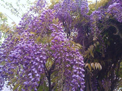 Purple wisteria vine 26 39 long flowers added seed packets for Can you get purple roses
