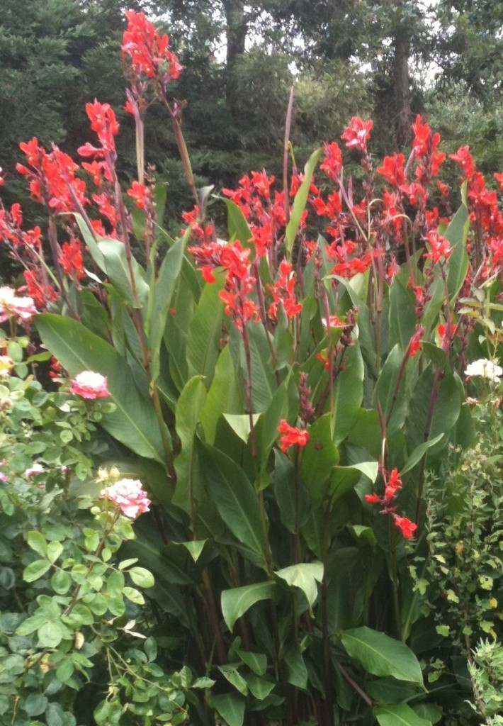 red canna lily rhizome bulb of the highest quality ready to plant ebay. Black Bedroom Furniture Sets. Home Design Ideas