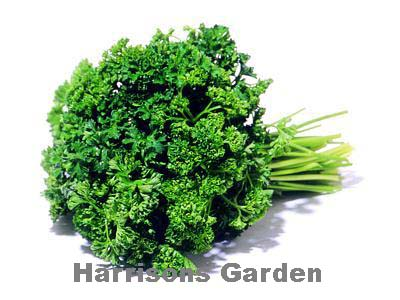 Parsley-100-Organic-curled-afro-Parsley-seeds-Herb