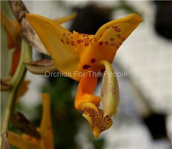 Orchid Hybrid Seedling Stanhopea tigrina x jenischiana