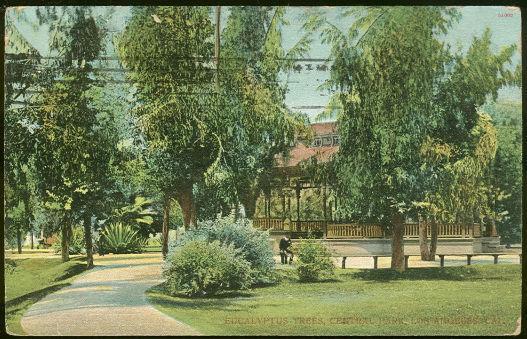 EUCALYPTUS TREES, CENTRAL PARK, LOS ANGELES, CALIFORNIA, Postcard