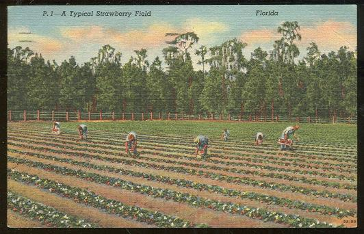 POSTCARD - Typical Strawberry Field, Florida