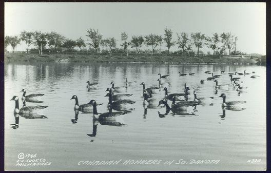 REAL PHOTO POSTCARD OF CANADIAN HONKERS IN SOUTH DAKOTA, Postcard