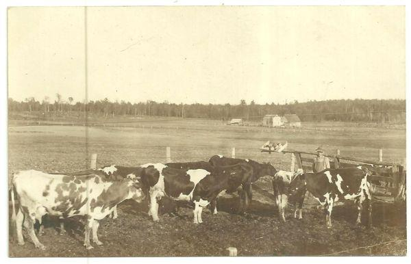 REAL PHOTO POSTCARD OF COWS AND FARMER, MEDFORD, WISCONSIN, Postcard
