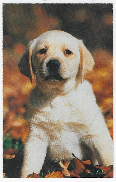 PUPPY SITTING IN FALL LEAVES, Postcard