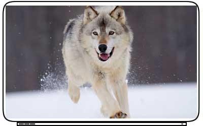Wolf Wolves Laptop Netbook Skin Cover Sticker Decals