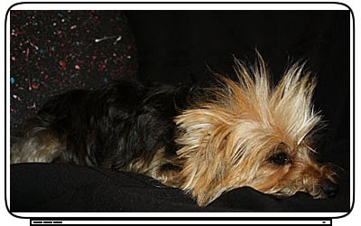 Dogs Yorkshire Terrier Laptop Netbook Skin Decal Cover