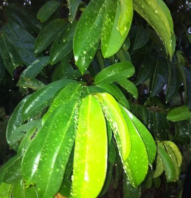 Benefits Of Soursop Leaves For Treatment ~ robitoamado   Soursop Leaves