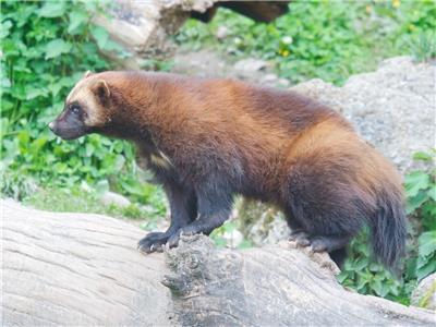 WOLVERINE GLOSSY POSTER PICTURE PHOTO PRINT skunk bear glutton carcajou 4955