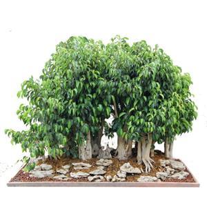 ficus benjamina weeping fig bonsai seeds es 7. Black Bedroom Furniture Sets. Home Design Ideas