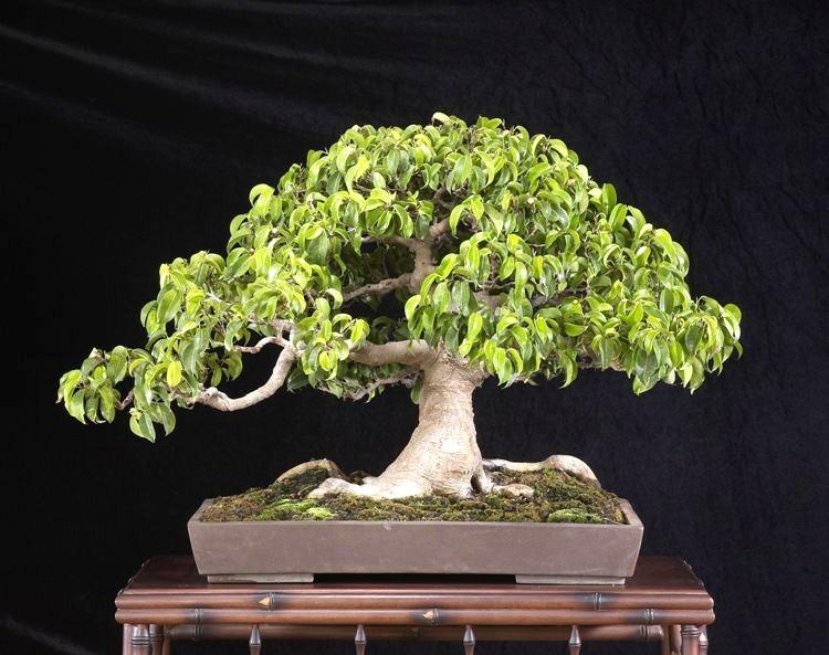 ficus benjamina weeping fig bonsai seeds es 7 ebay. Black Bedroom Furniture Sets. Home Design Ideas