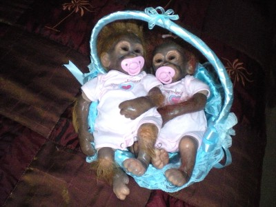 Baby Monkey Ashton Drake Little Umi Orangutan Baby Doll