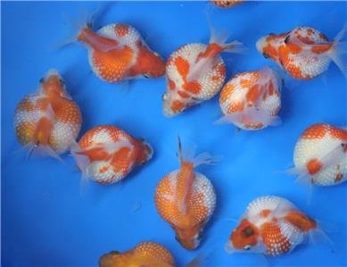 Live pearlscale goldfish sm for fish tank koi pond or for Koi tank size