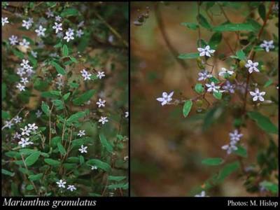 Marianthus granulatus Granite Marianthus 30 Seeds