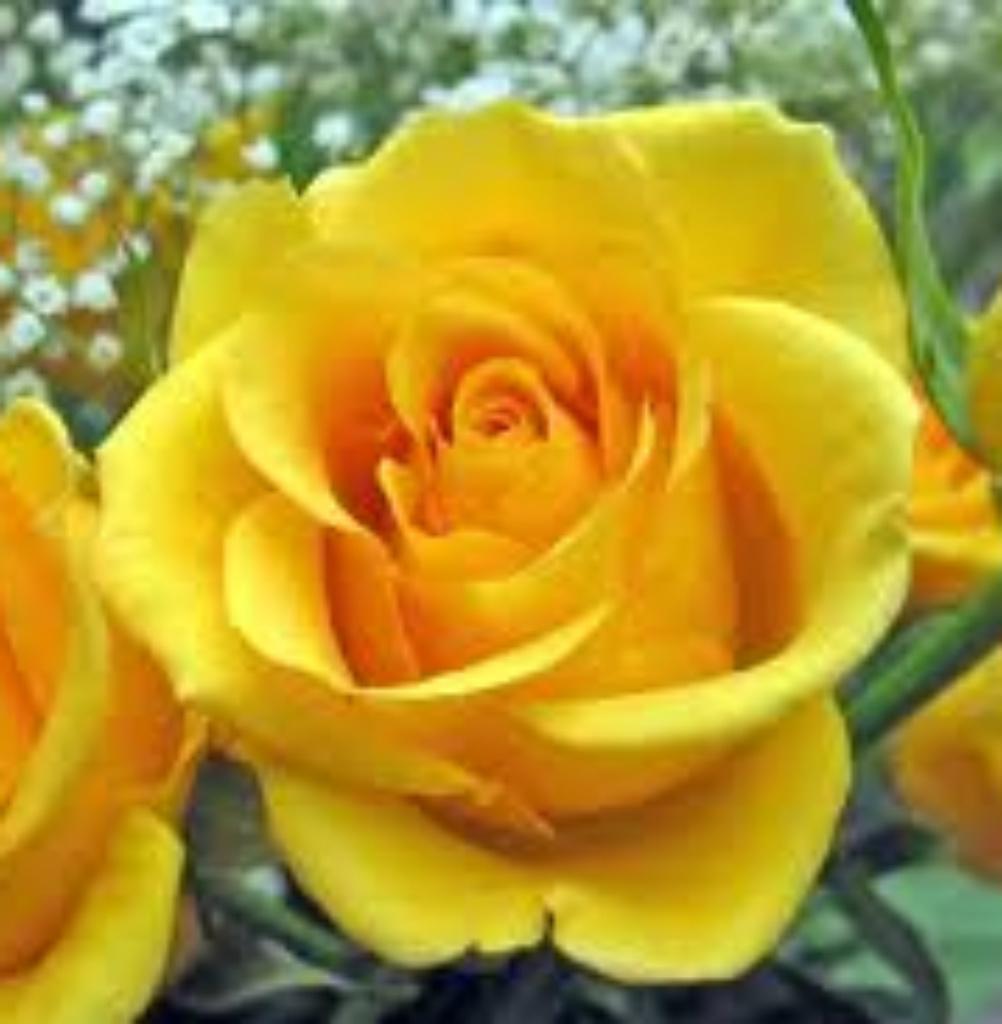 New Season Fragrant Bare Root Bush Roses Ebay