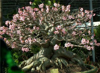 Adenium Arabicum Thai Socotranum Related Keywords & Suggestions