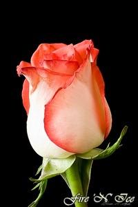 Rosa Fire N Ice Rosebush A Florists Rose Ebay