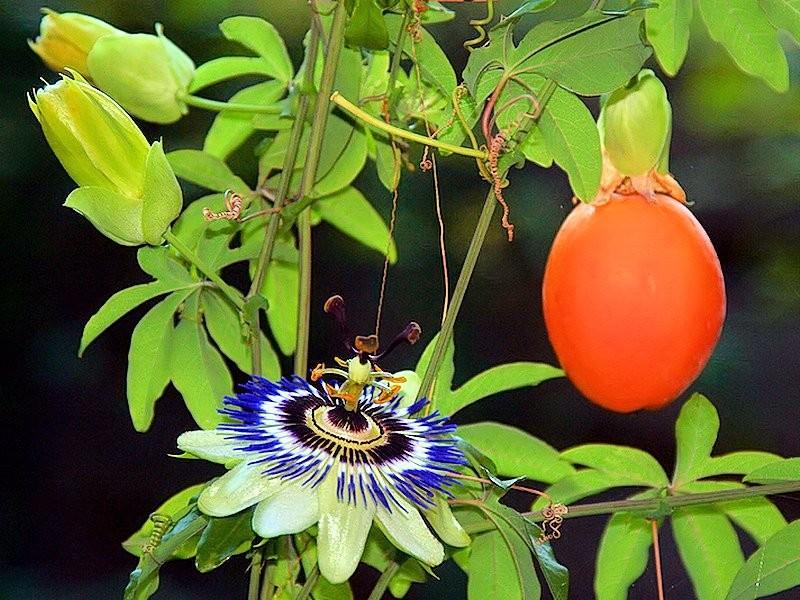 passiflora caerulea 10 seeds rare exotic blue crown. Black Bedroom Furniture Sets. Home Design Ideas