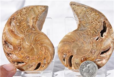 Nautilus Durchmesser ca. 15 cm Stofftier Ammonit rot Fossil Kopffüßer